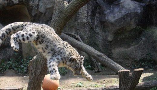 ユキヒョウがいる動物園は?日本はココで会える!