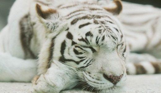 ホワイトタイガーがいる動物園は?日本ではここで会える!