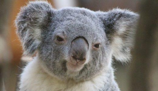 コアラがいる動物園は?ココで会える!