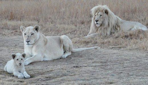 ホワイトライオンがいる動物園は?日本ではココで会える!