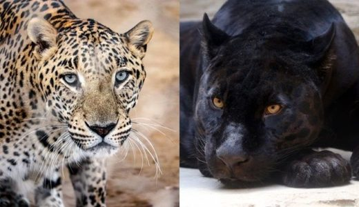 ジャガーがいる動物園は?日本はココで会える!